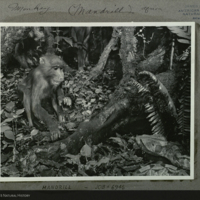 Mandrill Group, detail, Akeley Hall of African Mammals, photograph mounted to card