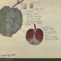 Leaves, botanical illustration with colors noted for Lion Group, Akeley Hall of African Mammals
