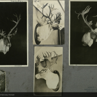 Caribou heads, photographs mounted to card, for use in Osborn Caribou Group, Hall of North American Mammals