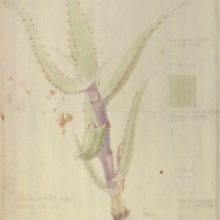 Young aloe plant, botanical illustration with colors noted, for use in Klipspringer Group, Akeley Hall of African Mammals
