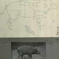 Wart hog, specimen measurement chart and photograph, for use in Ostrich - Wart Hog group, Akeley Hall of African Mammals