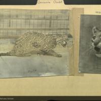 Ocelot, photographs, mounted to Mammals, Carnivora folder