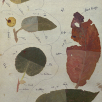 Leaves and fruit, botanical illustration for use in Greater Koodoo Group, Akeley Hall of African Mammals