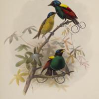 Diphyllodes respublica (Wilson's bird of paradise)
