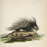 Hystrix cristata (crested porcupine) on rock from Schreber's Die såugthiere in Abbildungen nach der Natur
