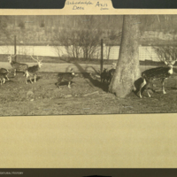 Axis deer, photograph mounted to folder