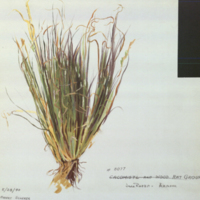 Grass, botanical illustration for use in Jack Rabbit Group, Hall of North American Mammals