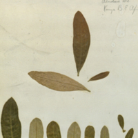 Plant specimens for use in Leopard Group, Akeley Hall of African Mammals