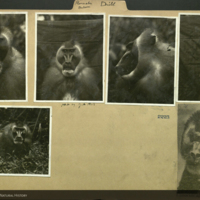 Drill baboon, photographs mounted to folder
