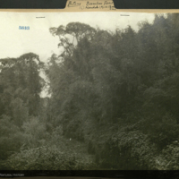 Bamboo forest, Aberdare, photograph mounted to botany of Africa folder