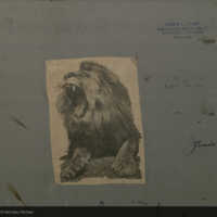 Lion, newspaper clipping, for use in Lion Group, Akeley Hall of African Mammals