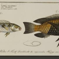 Labrus Malapterus and Labrus Melagaster (Sarotherodon melanotheron) from Bloch's Allgemeine Naturgeschichte der Fische