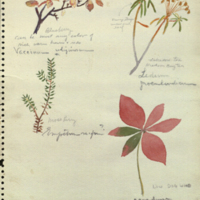 Plants, botanical illustration for use in Alaska Brown Bear Group, Hall of North American Mammals