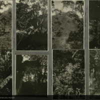 Trees, field photographs mounted to card, for use in Gorilla Group, Akeley Hall of African Mammals