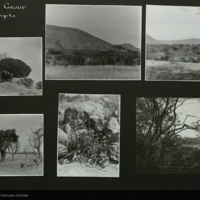 Botanical field photographs mounted to card, for use in Lion Group, Akeley Hall of African Mammals