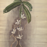 Orchid, painting by A. J. Klein for use in Bongo Group, 1934