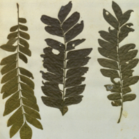Plant specimens for use in Okapi Group, Akeley Hall of African Mammals