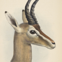 Ammodorcas Clarkei, Clarke's gazelle, from The proceedings of the scientific meetings of the Zoological Society of London