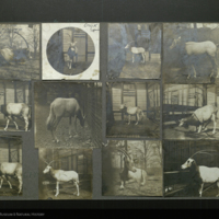 Oryx, photographs mounted to card, for use in Water Hole Group, Akeley Hall of African Mammals