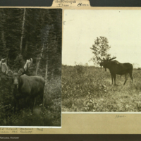 Moose, photographs mounted to folder