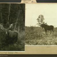 Moose, photographs mounted to folder