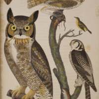 Great horn owl, barn owl, meadow mouse, red bat, small headed flycatcher, and hawk owl from Wilson's American orinthology