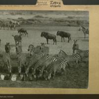 Grant zebras and gnus, Perissodactyla Equidae folder
