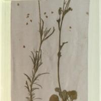 Plant specimens, Lukenia Hills, Kenya, for use in Klipspringer Group, Akeley Hall of African Mammals