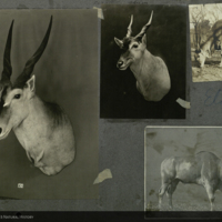 Eland images, mounted to card, for use in Giant Eland Group, Akeley Hall of African Mammals