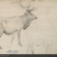Elk, drawings for use in Elk Group, Hall of North American Mammals