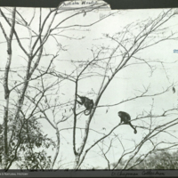 Howler monkeys in tree, photograph mounted to primates folder