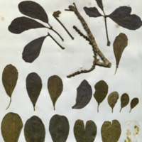 Plant specimens for use in White-Mantled Colobus Group No. 4, Akeley Hall of African Mammals