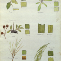 Plants, botanical illustration with colors noted, for use in Florida Black Bear Group, Hall of North American Mammals