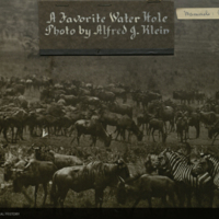 A Favorite Water Hole, photo by Alfred J. Klein, for use in Water Hole Group, Akeley Hall of African Mammals