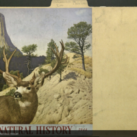 Mule deer, Natural History magazine, February, 1944, clipping mounted to folder
