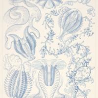 Ctenophorae from Haeckel's Kunstformen der Natur
