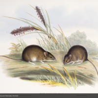 Gould's mice, Mus Gouldi, from Gould's The mammals of Australia