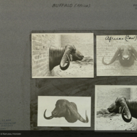 Mounted buffalo heads, photographs pasted to card, for use in Buffalo Group, Akeley Hall of African Mammals