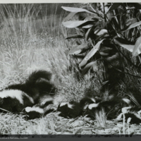 Spotted Skunk and Cacomistle Group, detail, Hall of North American Mammals