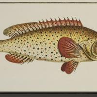 Holocentrus punctatus from Bloch's Allgemeine Naturgeschichte der Fische