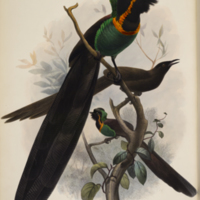 Astrapia Nigra from Elliot's A monograph of the Paradiseidae or birds of paradise