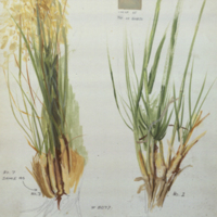 Grass, botanical illustration with color note, for Jack Rabbit Group, Hall of North American Mammals