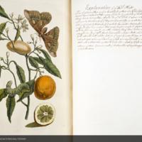 Citron bough with stages of caterpillar metamorphosis from Merian's Over de voortteeling en wonderbaerlyke veranderingen der Surinaemsche insecten