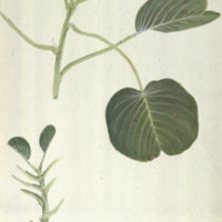 Ipomoea pes-caprae, botanical illustration