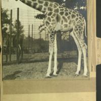 Standing giraffe, photograph mounted to Artiodactyla Giraffe folder