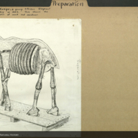 Preparation folder with illustration depicting the framework of a young African elephant mannequin, wood and excelsior, mounted by William Hornaday