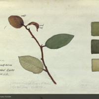 Plant, botanical illustration with colors noted, for use in Chimpanzee Group, Akeley Hall of African Mammals