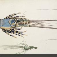 Panulirus homarus and nymph from Herbst's Versuch einer Naturgeschichte der Krabben und Krebse
