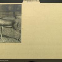 Gazelle antelope photograph, Artiodactyla Deer folder