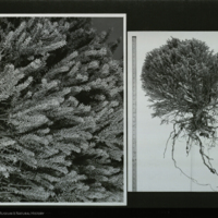 Tree specimens, photographs for use in Canada Lynx and Snow Shoe Hare Group, Hall of North American Mammals
